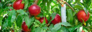 Frutas del Proyecto Life Aquemfree